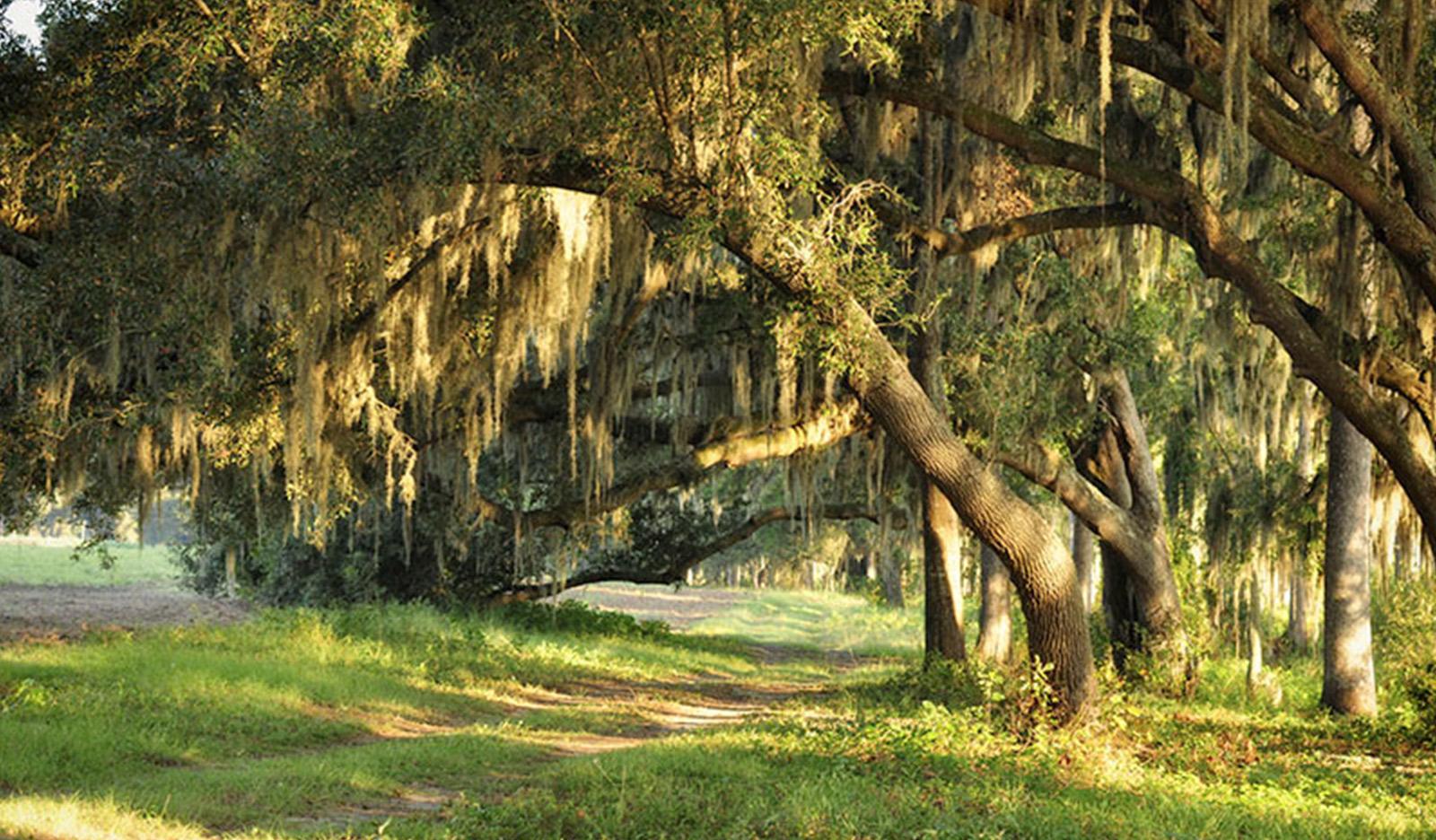 Leaning Oak Trees