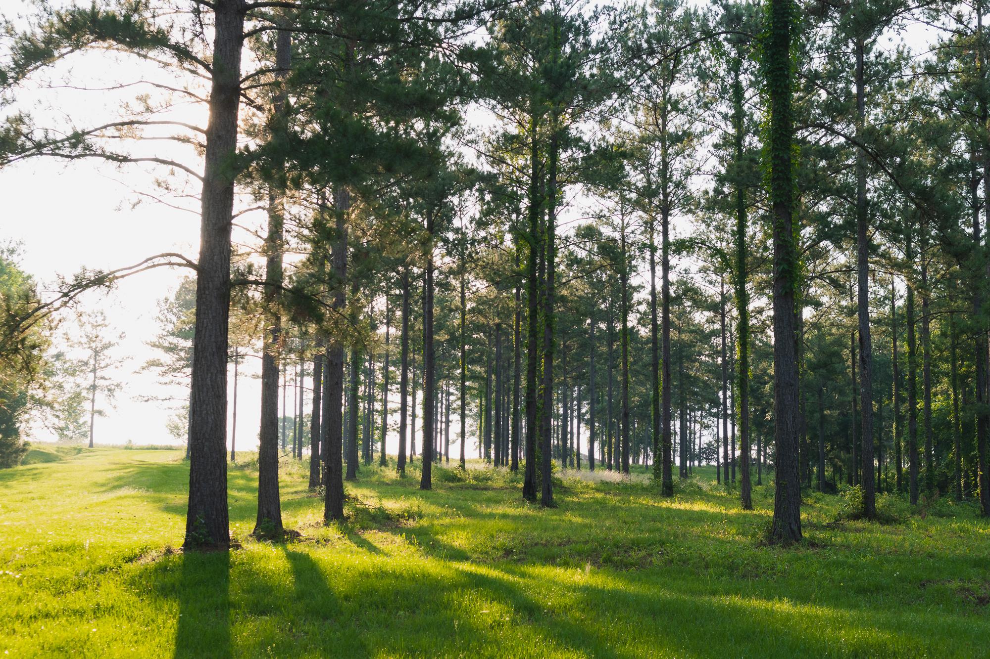 Open Pine Trees